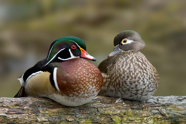 Wood Duck photo by Michael Dossett